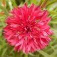Sementes de Centáurea Vermelha