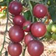Sementes Tomate Black Cherry ORGÂNICO