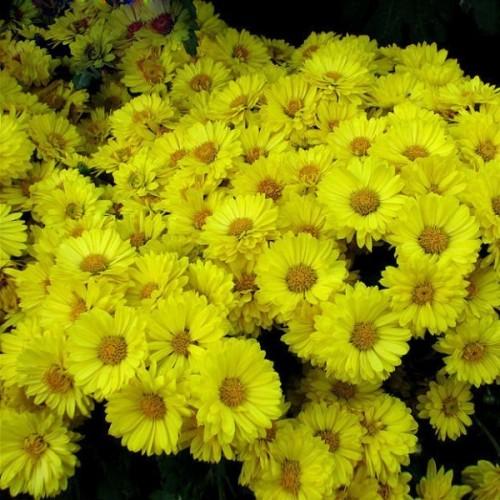 Sementes de Aster Amarela