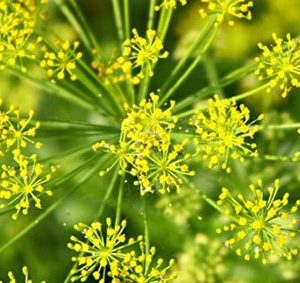 Comprar Sementes Orgânicas de Endro (Aneto)