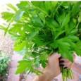 Comprar Sementes Orgânicas de Salsa Gigante Italiana – ORGÂNICO