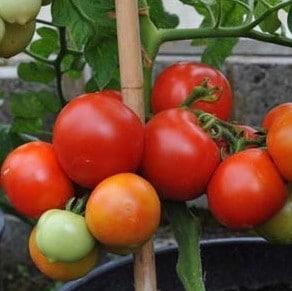 Comprar Sementes Orgânicas Tomate Moneymaker
