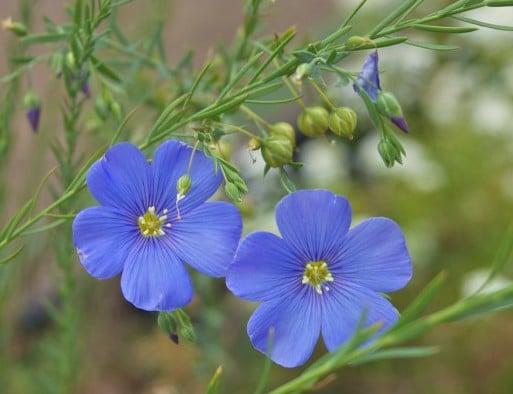 Linho de Jardim Azul