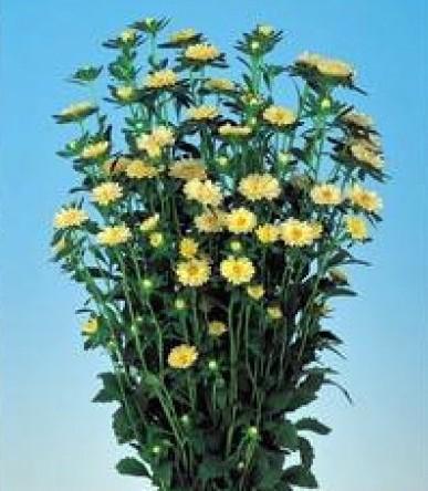 Sementes de Áster Serenata Amarela