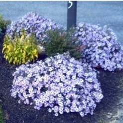 Sementes de Áster Serenata Azul