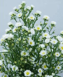 Sementes de Aster Serenata Branca