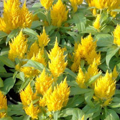 Sementes de Celósia Plumosa Amarela