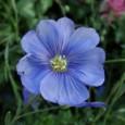 Sementes de Linho de Jardim Azul