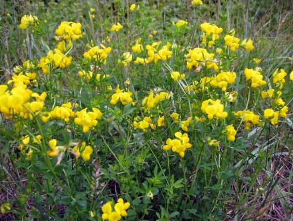Sementes de Pé de Trevo (Lotus corniculatus)