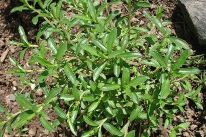 Sementes de Segurelha (Satureja)