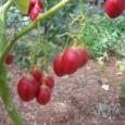 Sementes de Tamarillo (Tomate-de-Árvore)