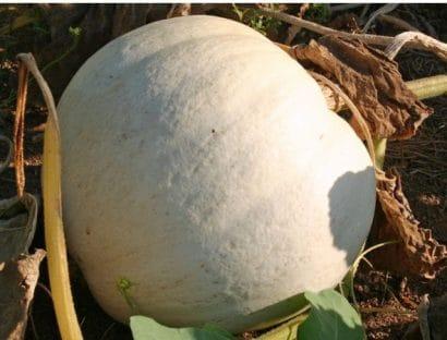 Sementes Orgânicas de Abóbora Casper - ORGÂNICO