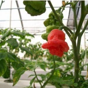Sementes Pimenta Jamaican Red