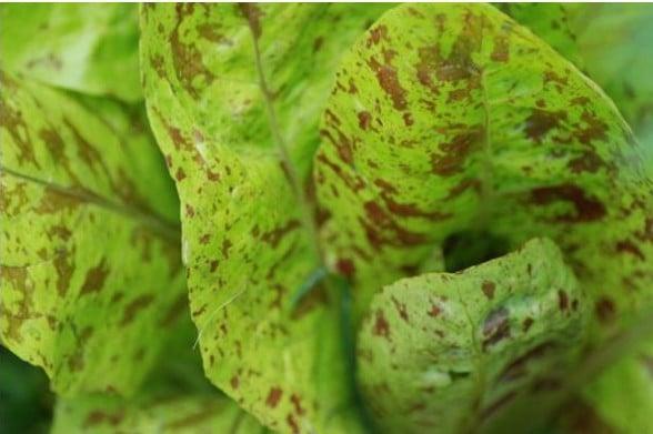 Sementes Alface Freckles Orgânica