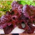 alface-red-salad2