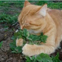 Erva dos Gatos (Catnip) ORGÂNICO