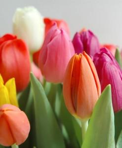 livro-tulipas