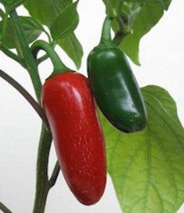 Pimenta Jalapeño ORGÂNICO