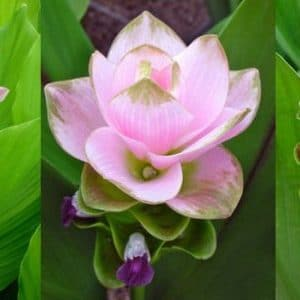 Comprar Curcuma Alismatifolia (Açafrão da Terra)