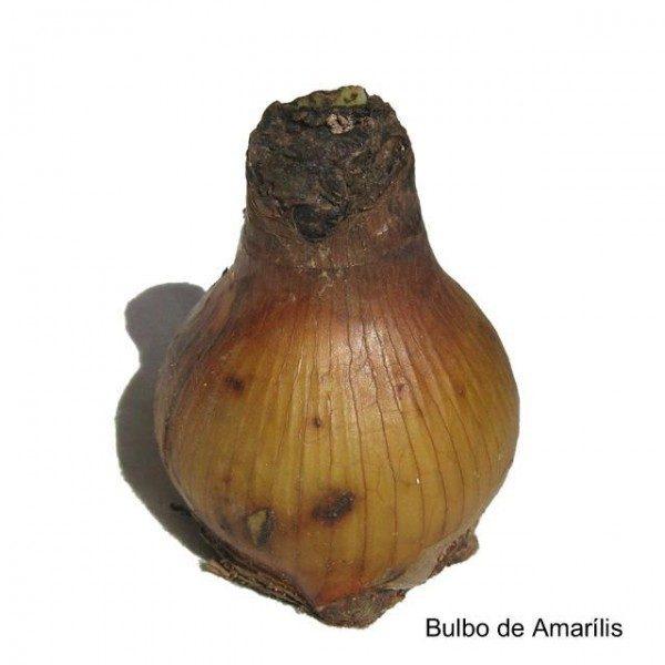 Bulbo de Flor Amarilis Ster Van Holland