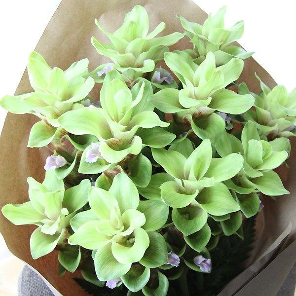 Curcuma Pearl Green (Açafrão da Terra): 1 Bulbo
