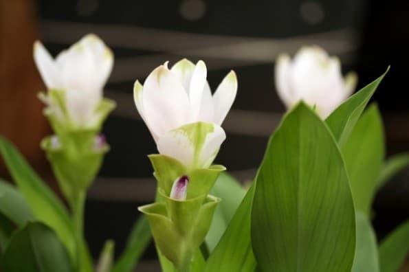 Curcuma Pearl Green (Açafrão da Terra)