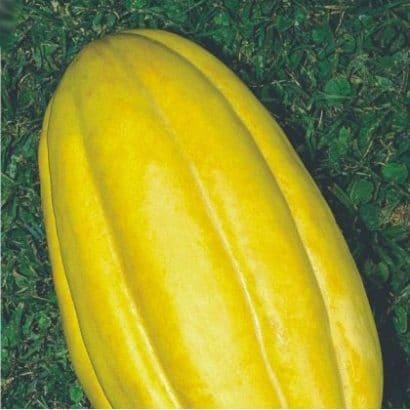 Plantar Melão Caipira (Gaúcho)