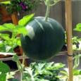 Plantar Semente de Melancia Black Diamond