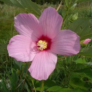Sementes da Flor Hibisco