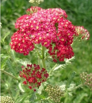 Sementes da Flor Mil-Folhas Vermelha