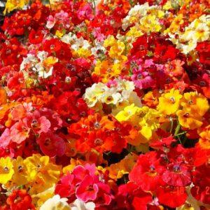Sementes da Flor Nemesia Sortida