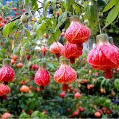 Sementes da Flor Sininho Chinês