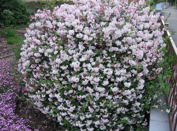 Sementes de Arbusto Beauty Bush