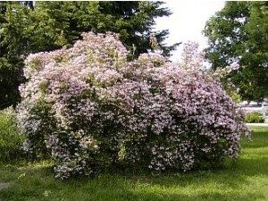 Sementes de Arbusto Beauty Bush