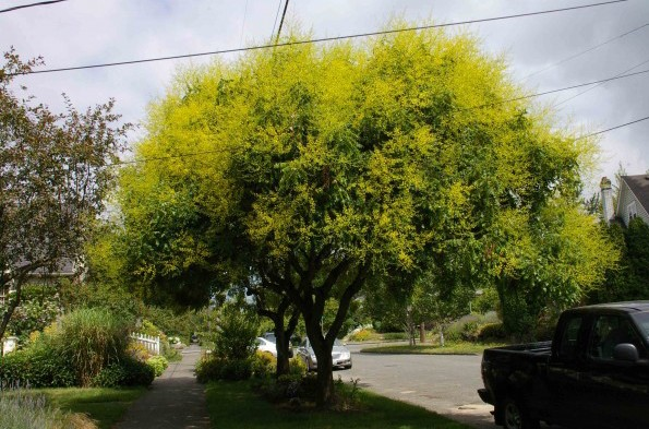 Sementes de Árvore Gonden Rain (Chuva Dourada)