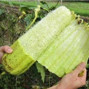 Sementes de Bucha (Esponja Vegetal)