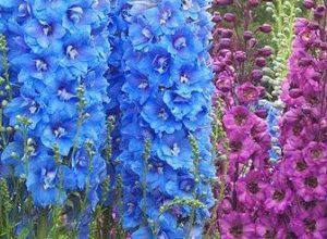 Sementes de Flor Esporinha Sortida