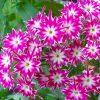 Sementes de Flores Chitinha Estrela Sortida