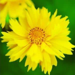 Sementes de Flores Coreopsis Amarela