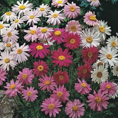 Sementes de Flores Piretro Sortido