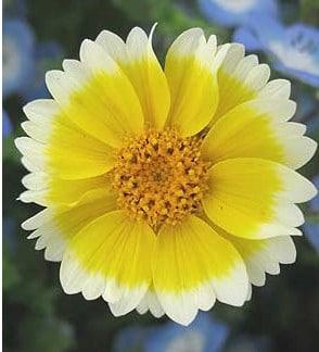 Sementes de Flores Tidy Tips (Flor-Ovo)
