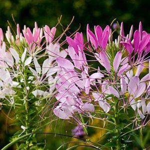 Sementes de Spider Flower (Cleome)