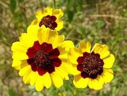 Sementes Flor Coreopsis Bicolor