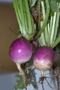 Sementes Legumes Orgânicos Nabo Purple Top