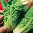 Sementes Orgânicas Alface Little Gem