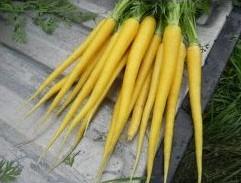 Sementes Orgânicas Cenoura Solar Amarela