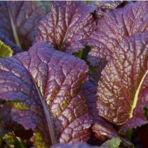 Sementes Orgânicas de Mostarda Roxa