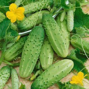 Sementes Orgânicas Pepino Calypso