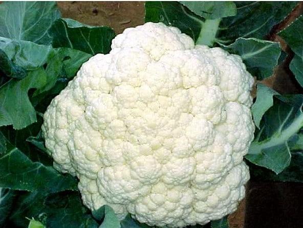 Sementes Verdura Orgânica Couve-Flor Snowball