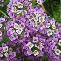 Alyssum-Royal-Carpet